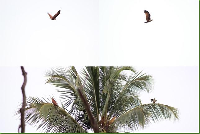 brahminy kite collage