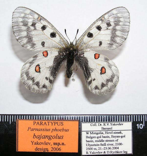 Parnassius phoebus bajangolus ssp. nova YAKOVLEV, 2006, holotype femelle. LT : Khovd dist., Mongolie occidentale. Photo : Roman Yakovlev
