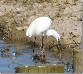 24 little egret with fish