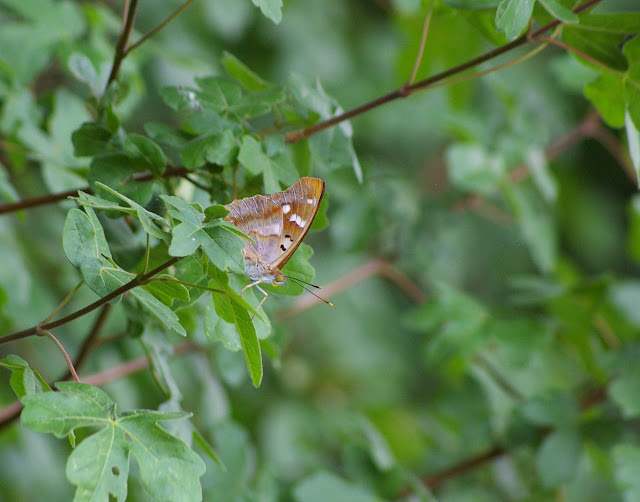 Apatura iris LINNAEUS, 1758, mâle. Les Hautes-Lisières (Rouvres, Eure-et-Loir), 2 juillet 2010. Photo : J.-M. Gayman