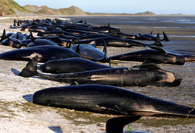 Some of the hundreds of stranded pilot whales marked with an 'X' to indicate they have died after one of the country's largest recorded mass whale strandings, in Golden Bay, at the top of New Zealand's South Island, 10 February 2017. Photo: Anthony Phelps / Reuters