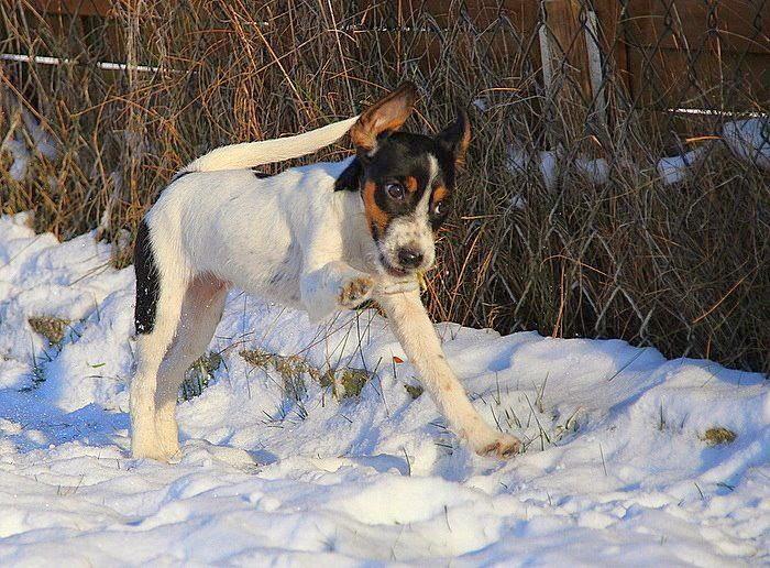 parson rusesll terrier