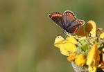 Aricia agestis5.jpg