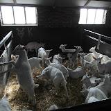 Bevers en Welpen- Lammetjes kijken - SAM_2354.JPG