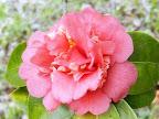 紅色 唐子〜牡丹咲き 小輪