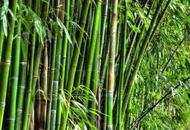 manfaat pohon bambu bagi manusia dan bagaimana cara pohon bamboo beradaptasi