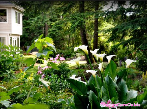 Method to Cultivate Calla Lilies Outdoor