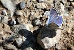 Eschers blåfugl, escheri.jpg