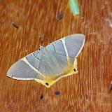 Phrygionis incolorata (Prout, 1910). Mount Totumas, 1900 m (Chiriquí, Panamá), 19 octobre 2014. Photo : J.-M. Gayman