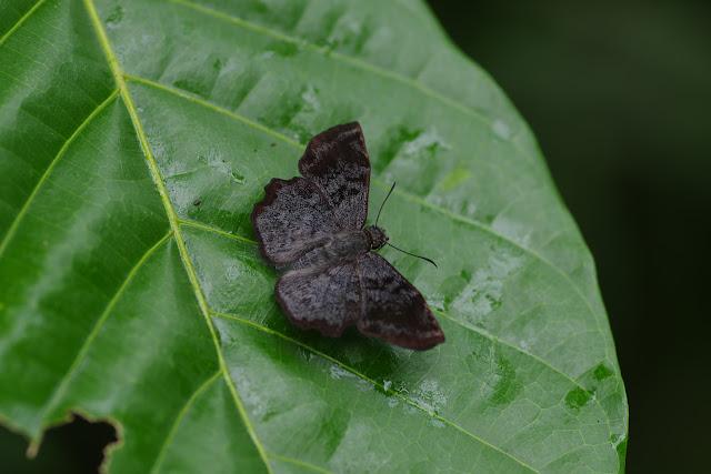 Antigonus erosus (Hübner, [1812]). Fundo Palmarito, 265 m (Yopal, Casanare, Colombie), 8 novembre 2015. Photo : J.-M. Gayman