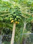 Papaya growing in the back yard (my favorite fruit)