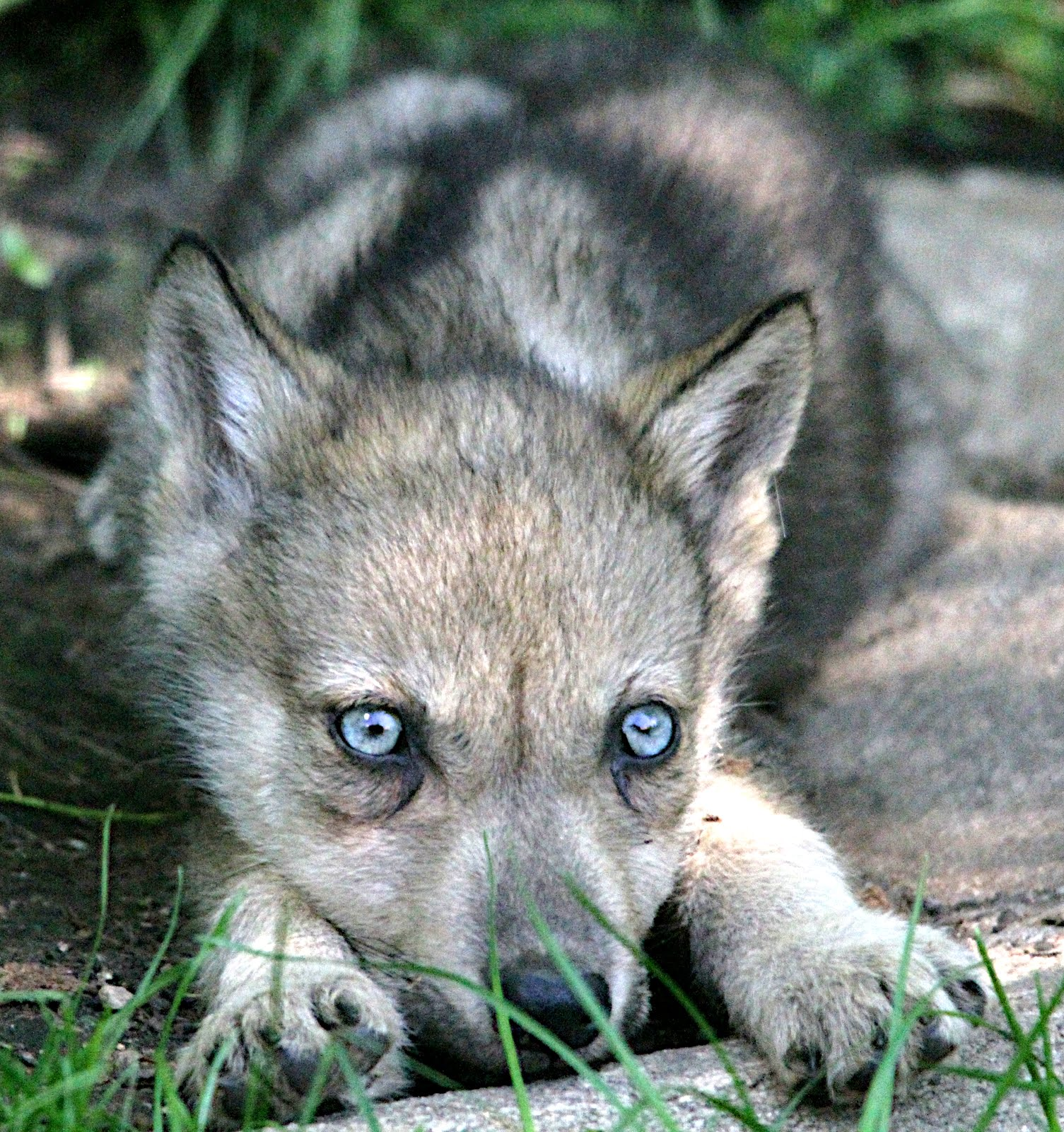 black wolf pup with green eyes