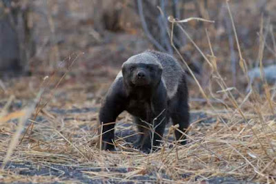 दुनिया का सबसे निडर जानवर | एक ऐसा जानवर जो शेरों की झुंड से भिड़ गया