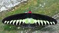 Rajah Brook Birdwing butterfly | photo © Kevin Dixon