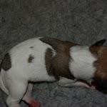Hvalpe/Puppies - IMGP8903.JPG