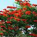 Bibit Bunga Sepatu Dea Merah Harga Terjangkau