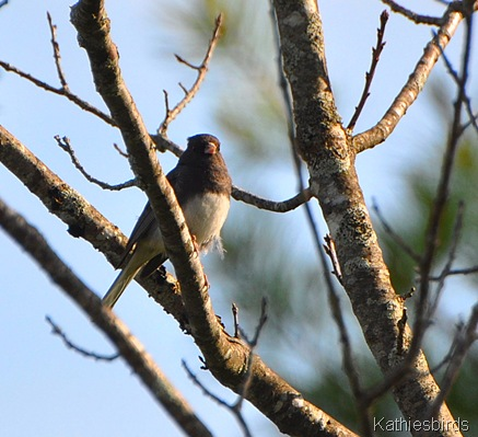 9. darkeyed junco-kab