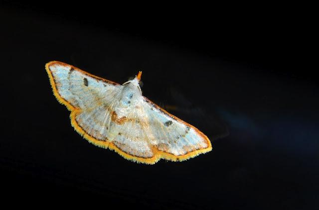 Noctuidae : Acontiinae : Enispa rhodopleura TURNER, 1945. Umina Beach (N. S. W.), 16 décembre 2011. Photo : Barbara Kedzierski