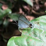 Hypolycaena liara DRUCE, 1890 ou bien H. scintillans STEMPFFER, 1957. Wli Falls, Agmatsa Wildlife Sanctuary (Ghana), 12 janvier 2006. Photo : Henrik Bloch