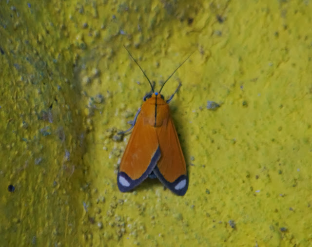 Arctiidae : Arctiinae : Ormetica contraria (WALKER, 1854). Tunda Loma à Calderon (Esmeraldas, Équateur), 7 décembre 2013. Photo : J.-M. Gayman