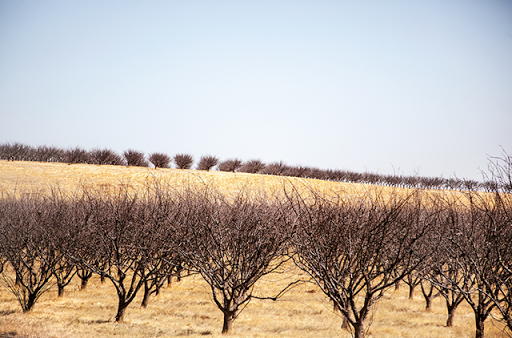 Dead almond trees in Firebaugh, California. Photo: Randi Lynn Beach