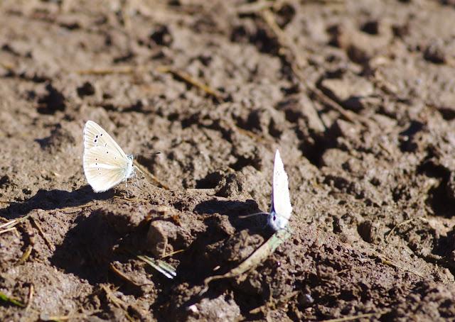 À gauche : Polyommatus damon (DENIS & SCHIFFERMÜLLER, 1775). Villeneuve, 1000 m (Causse Méjean, Lozère), 10 août 2013. Photo : J.-M. Gayman
