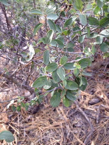 Wild Herb Ways: Red Root, Ocotillo and an approach towards the