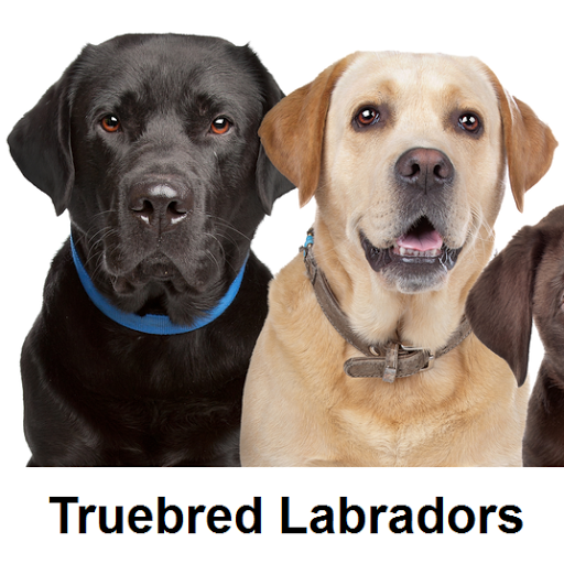 Labrador puppies for sale by registered Labrador breeder - About - Google+