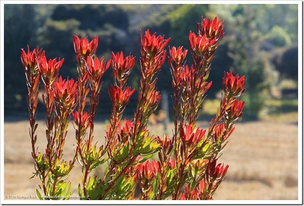 160813_UCSC_Arboretum_026