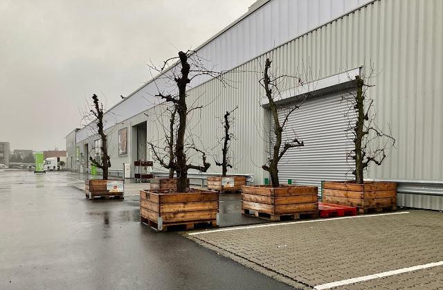 Oude perenbomen fruitbomen kopen in pot of palox voor terras tuin patio inkom entree ingang feest beurs trouw bruiloft
