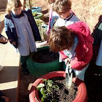 P4. Plantem maduixeres