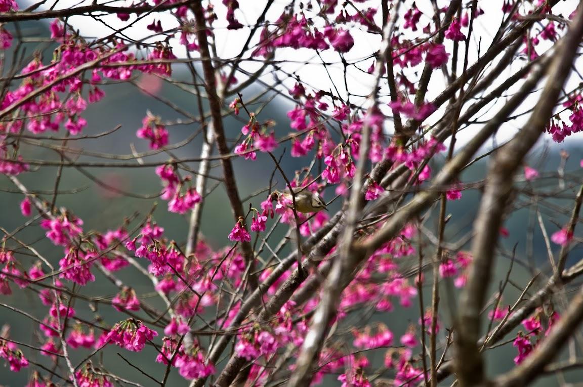 福山櫻花道 - 冠羽畫眉