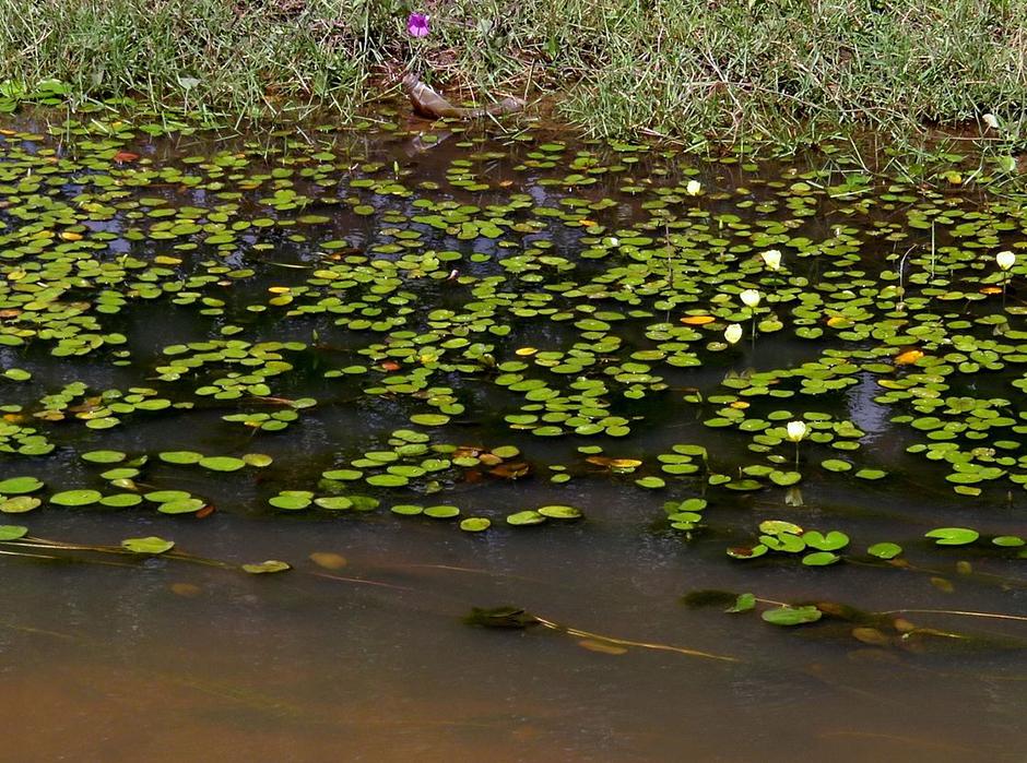 Гидроклейс кувшинковидный (Hydrocleys nymphoides)