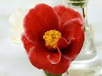 鮮紅色 白覆輪 一重または八重咲き 中輪