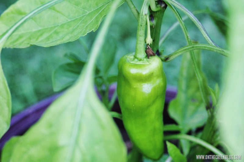 Banana Pepper Plant