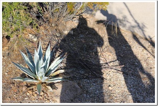 151229_Tucson_GregStarr_Agave-vizcainoensis_0001