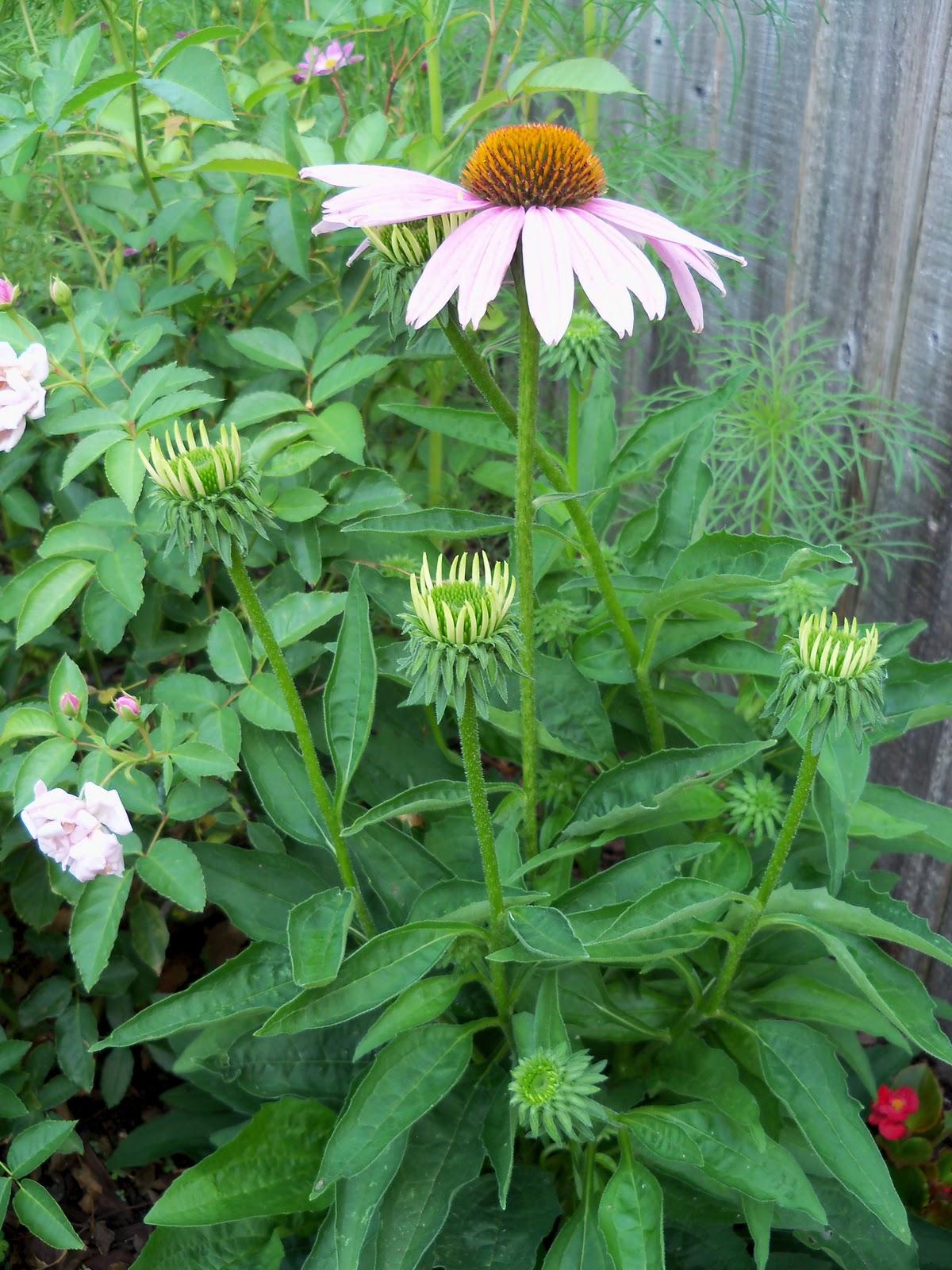 Gardening 2010, Part Two - 101_3261.JPG