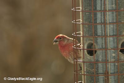 A male house finch eating black-oil sunflower seeds.