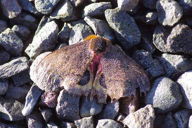 Hemileucinae : Automeris arianae Brechlin & Meister, 2011 ou A. b. belti Druce, 1886, mâle. Mount Totumas, 1900 m (Chiriqui, Panamá), 22 octobre 2014. Photo : J.-M. Gayman
