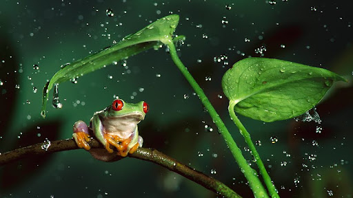Rain Shelter, Red-Eyed Tree Frog.jpg