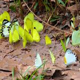 Pieridae mud-puddlant : en jaune, probablement Eurema hecabe (L., 1758) ; à gauche : Belenois theora (DOUBLEDAY, 1846) ; à droite : (probablement) Appias sylvia (FABRICIUS, 1775) et Nepheronia argia argia (FABRICIUS, 1775), mâle. Bobiri Forest (Ghana), 1er décembre 2013. Photo : J.-F. Christensen