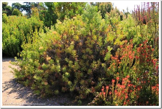 160813_UCSC_Arboretum_-Leucospermum-glabrum-x-conocarpodendron_007
