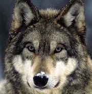 К чему снятся волки (сонник)