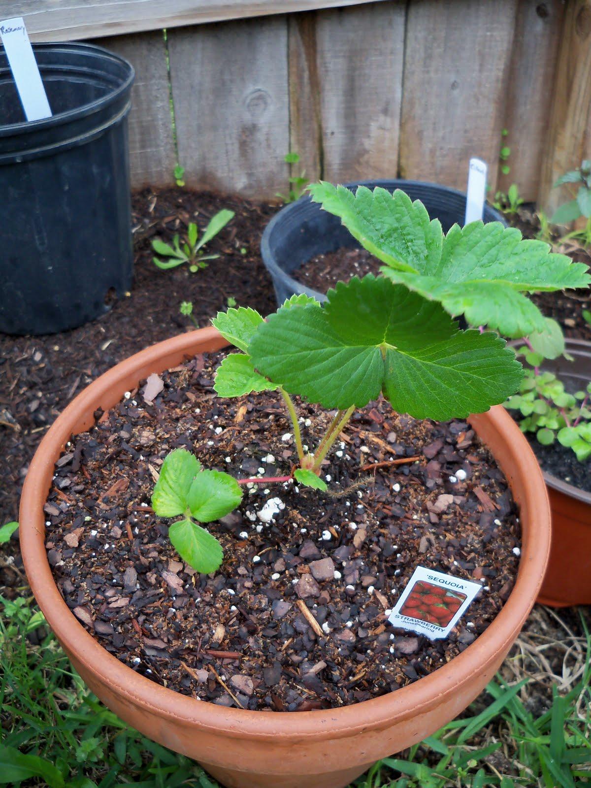 Gardening 2010 - 101_0300.JPG
