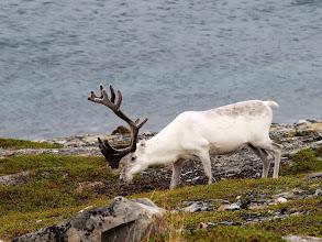 Photo: renifer - symbol Laponii