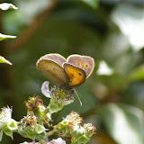 Manolia jurtina L., 1758, femelle. Les Hautes-Lisières (Rouvres, 28), 8 juin 2011. Photo : J.-M. Gayman