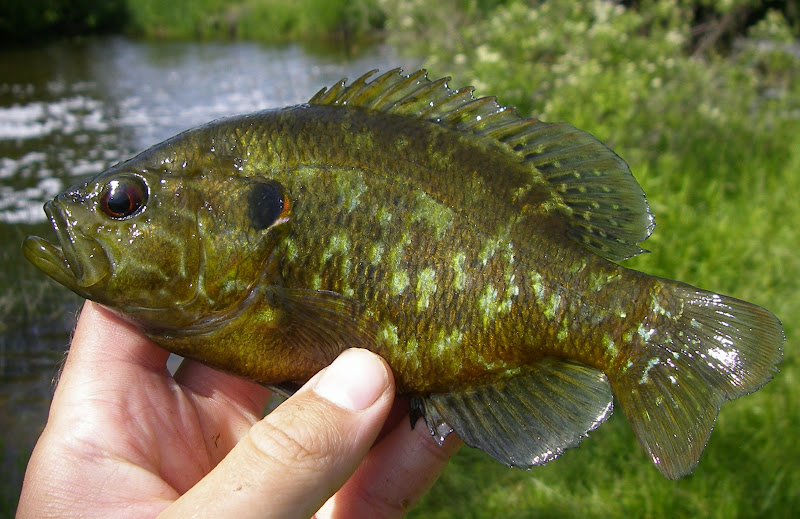 Warmouth Warmouth (lepomis gulosus)
