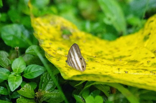 Pareuptychia ocirrhoe ocirrhoe. (Fabricius, 1776). El Valle de Antón, 750 m (Coclé, Panamá), 31 octobre 2014. Photo : J.-M. Gayman