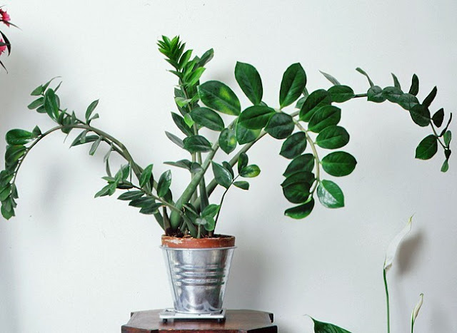 planta decorar interior casa zamioculcas zamiifolia