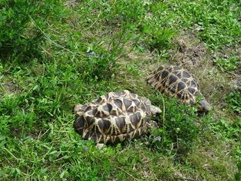 2017.08.07-003 tortue étoilée de Birmanie